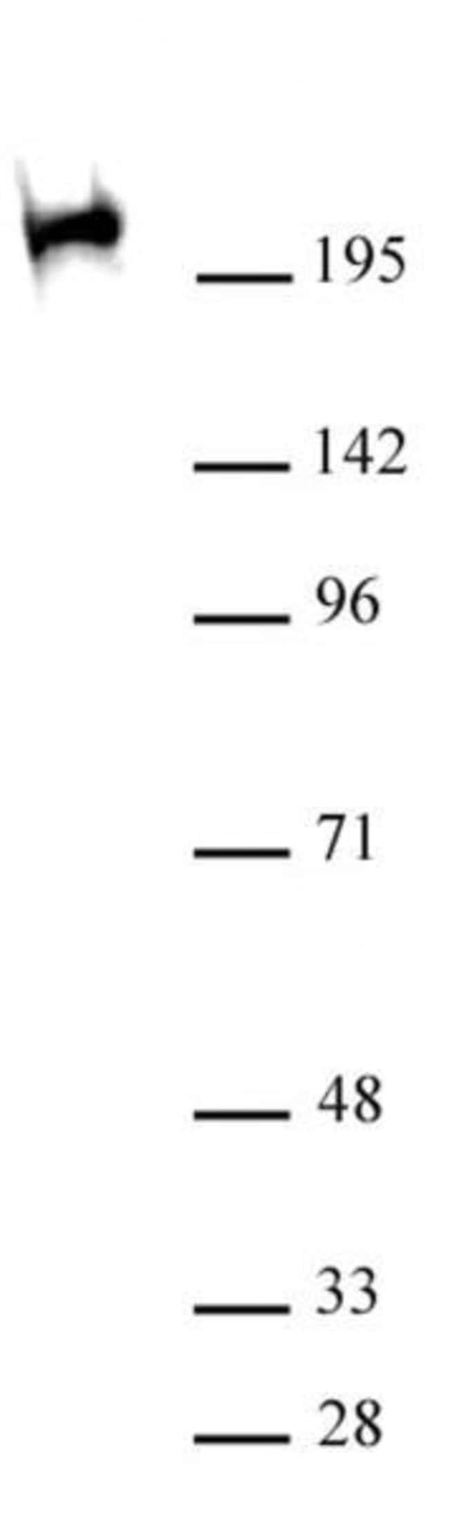 Phospho-RNA pol II CTD (Ser2, Ser5) Mouse anti-Human, Clone: 1A12G10, Active