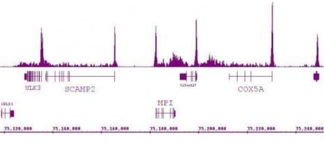 RNA pol II Rat anti-Human, Clone: 1F4B6, Active Motif:Antibodies:Primary