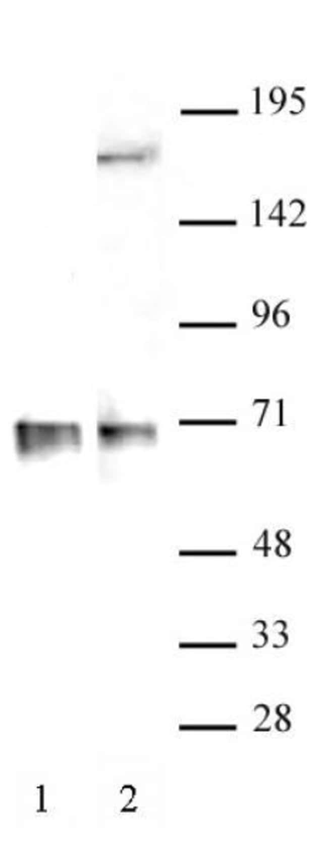 RBM39 Rabbit anti-Human, Unconjugated, Polyclonal, Active Motif:Antibodies:Primary