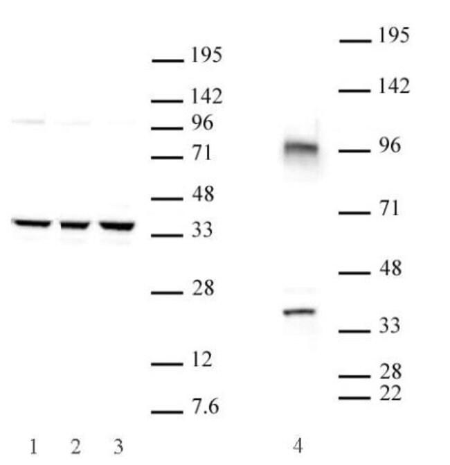 Cxxc4 Rabbit anti-Human, Mouse, Unconjugated, Polyclonal, Active Motif:Antibodies:Primary