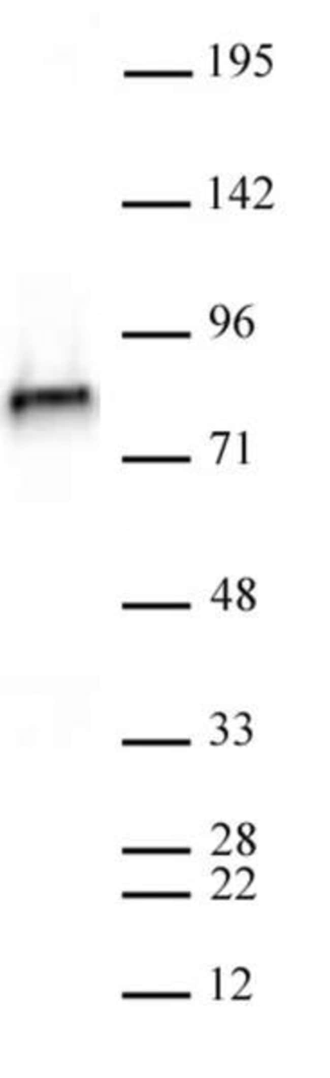 NCAPH2 Rat anti-Human, Clone: 5F2G4, Active Motif:Antibodies:Primary Antibodies