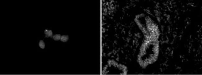 Chd5 Rat anti-Human, Mouse, Clone: 5A10, Active Motif:Antibodies:Primary