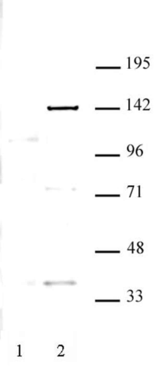 KDM4C Rabbit anti-Monkey, Unconjugated, Polyclonal, Active Motif:Antibodies:Primary