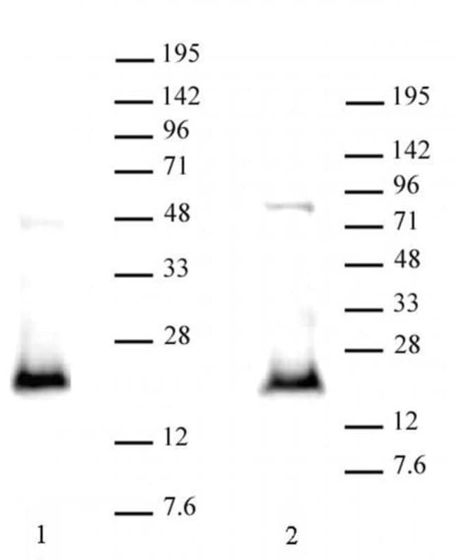 CDKN2A p14ARF Rabbit anti-Human, Unconjugated, Polyclonal, Active Motif:Antibodies:Primary