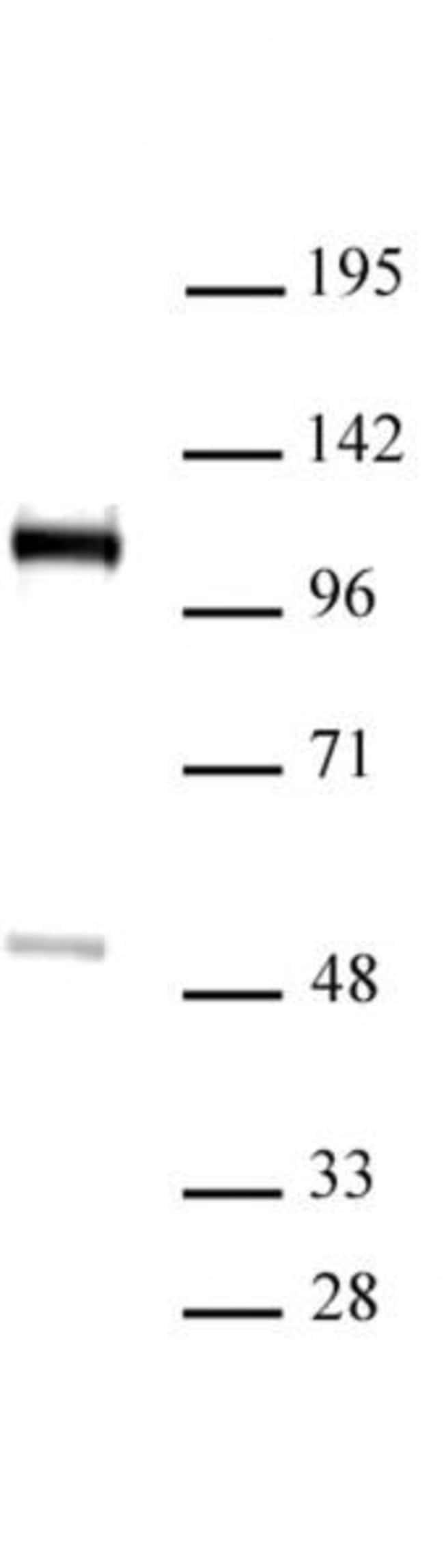 FOXM1 Rabbit anti-Human, Unconjugated, Polyclonal, Active Motif:Antibodies:Primary