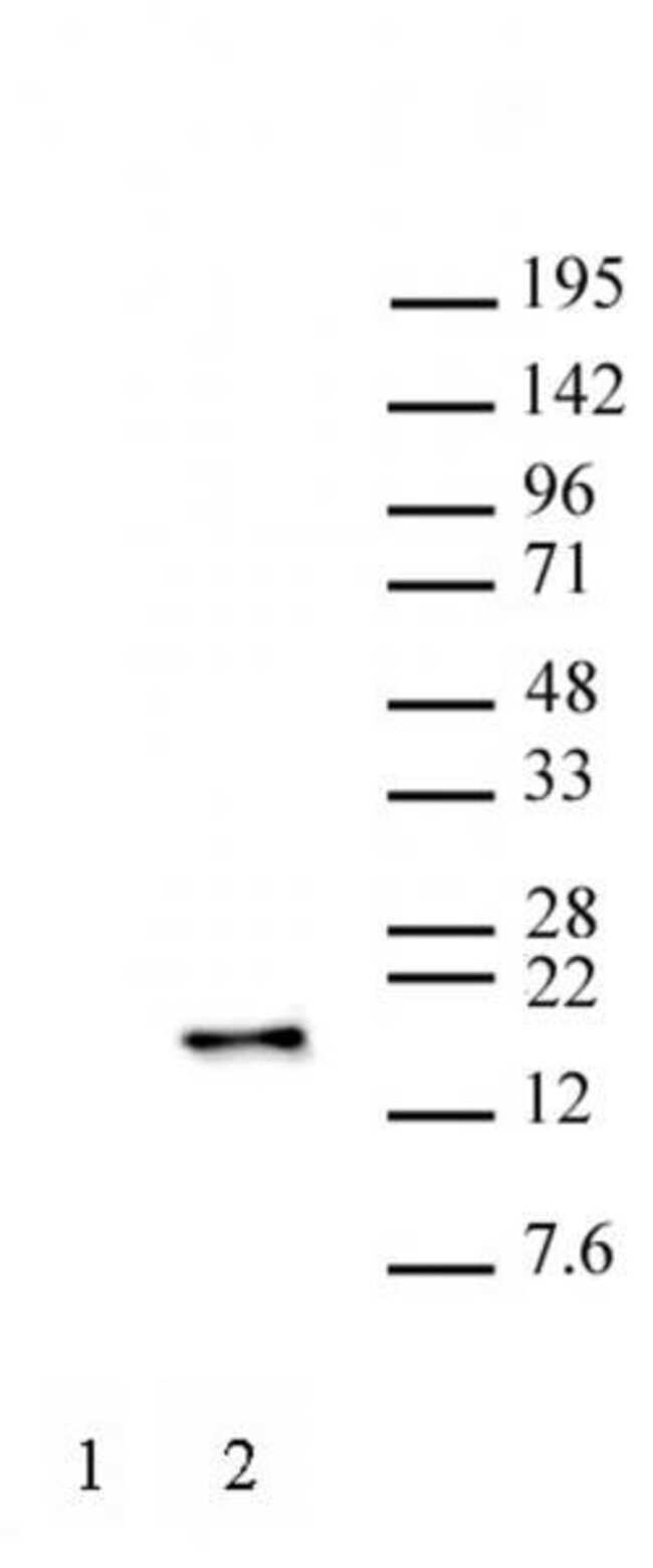 Histone H3S28ph Mouse anti-Human, Clone: 5F9A9, Active Motif:Antibodies:Primary