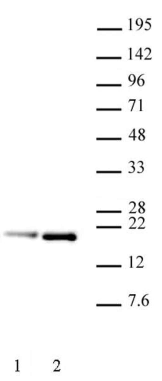 Histone H3.1S28ph Rat anti-Human, Clone: 5D10D4, Active Motif:Antibodies:Primary