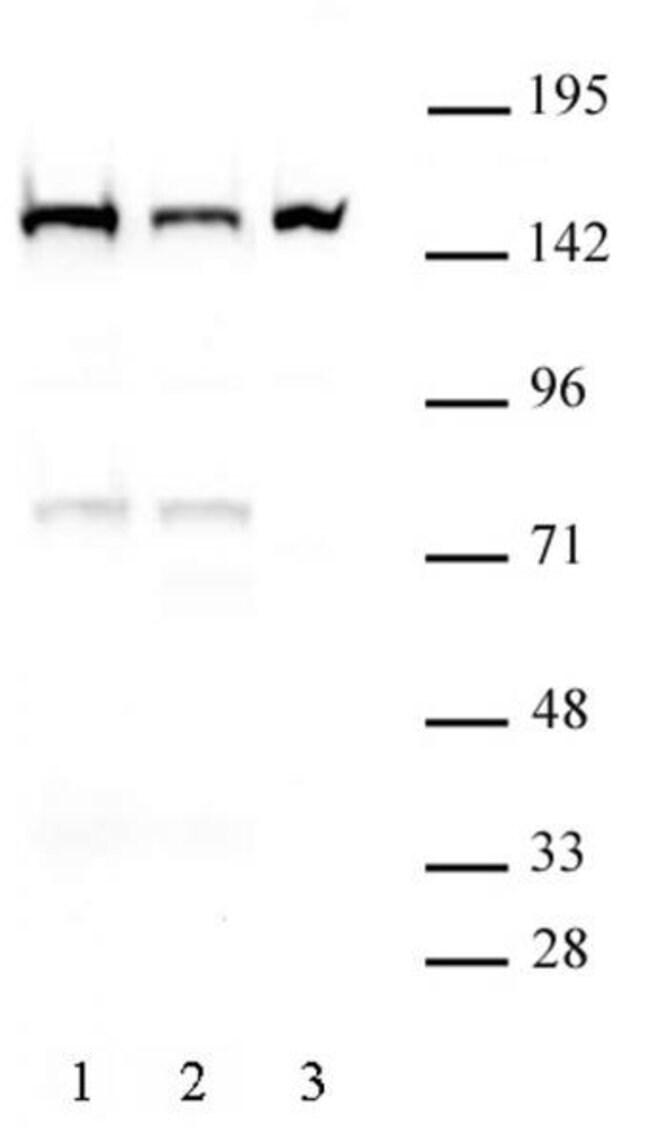 DHX9 Rat anti-Human, Mouse, Clone: 8E3, Active Motif:Antibodies:Primary