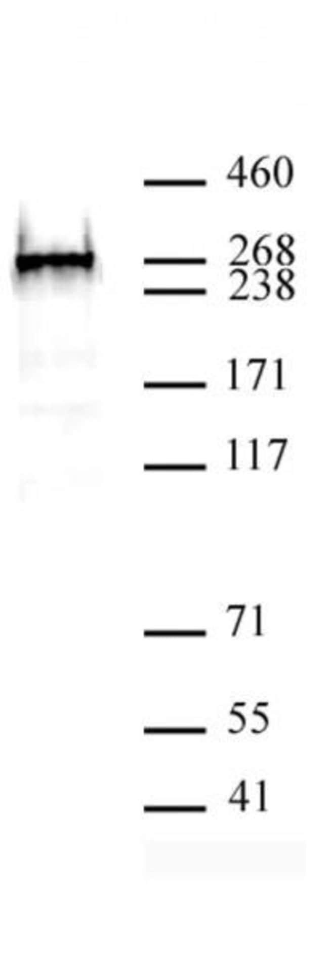 BAZ2A Rabbit anti-Human, Unconjugated, Polyclonal, Active Motif:Antibodies:Primary