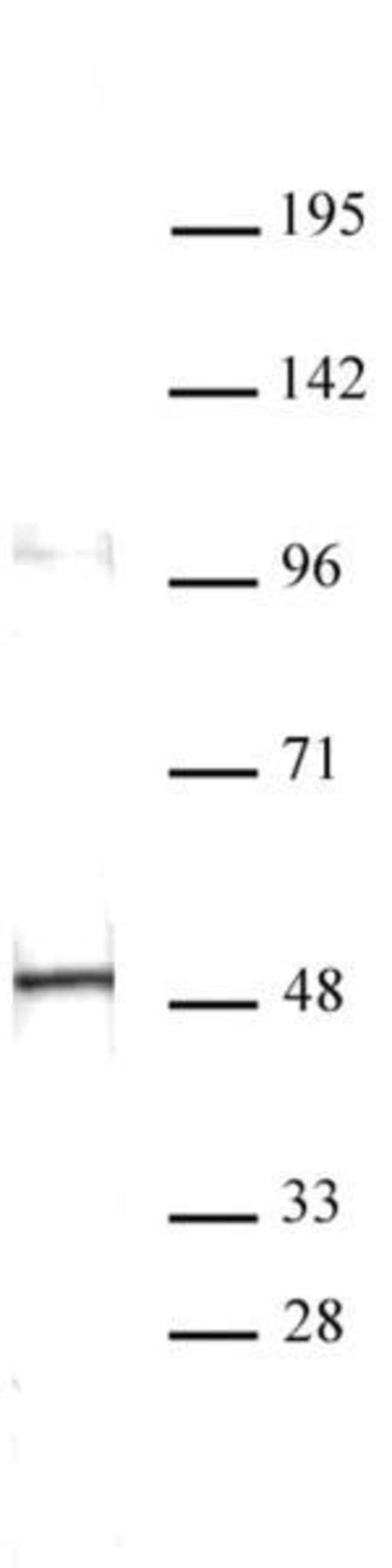 Aurora A Mouse anti-Human, Clone: 35C1, Active Motif:Antibodies:Primary