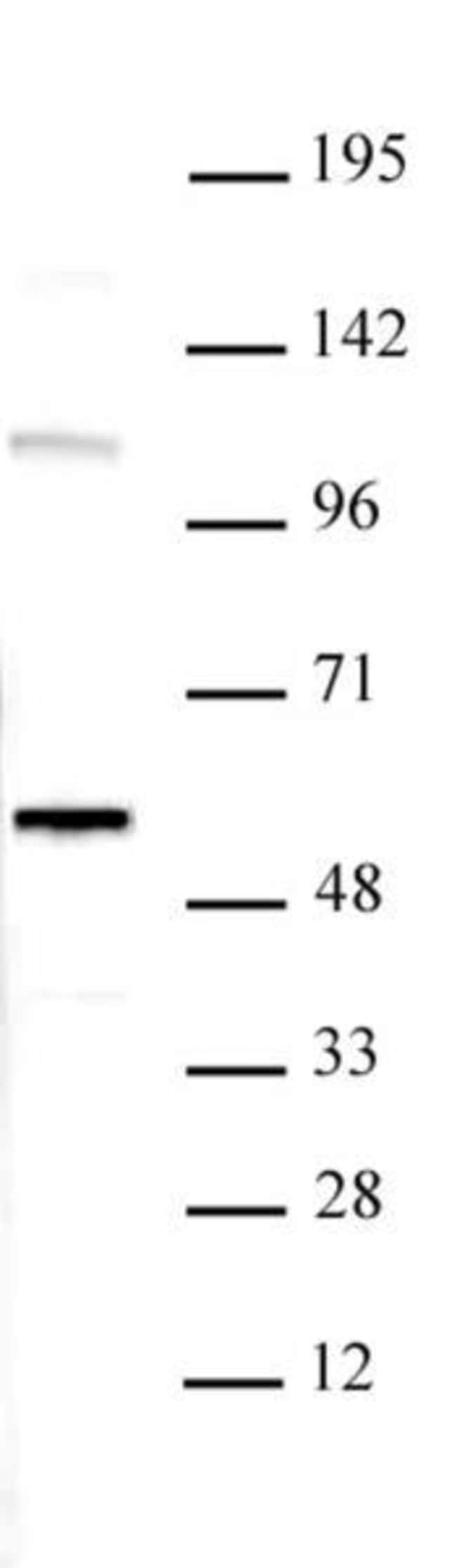 RUVBL1 Rabbit anti-Human, Unconjugated, Polyclonal, Active Motif:Antibodies:Primary