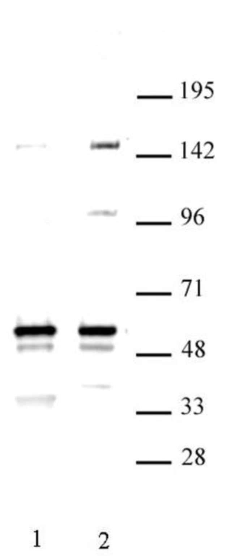 MINA Rabbit anti-Human, Unconjugated, Polyclonal, Active Motif:Antibodies:Primary
