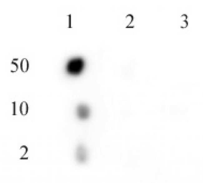 Phospho-C17orf96 (Ser15) Rabbit anti-Mouse, Unconjugated, Polyclonal, Active
