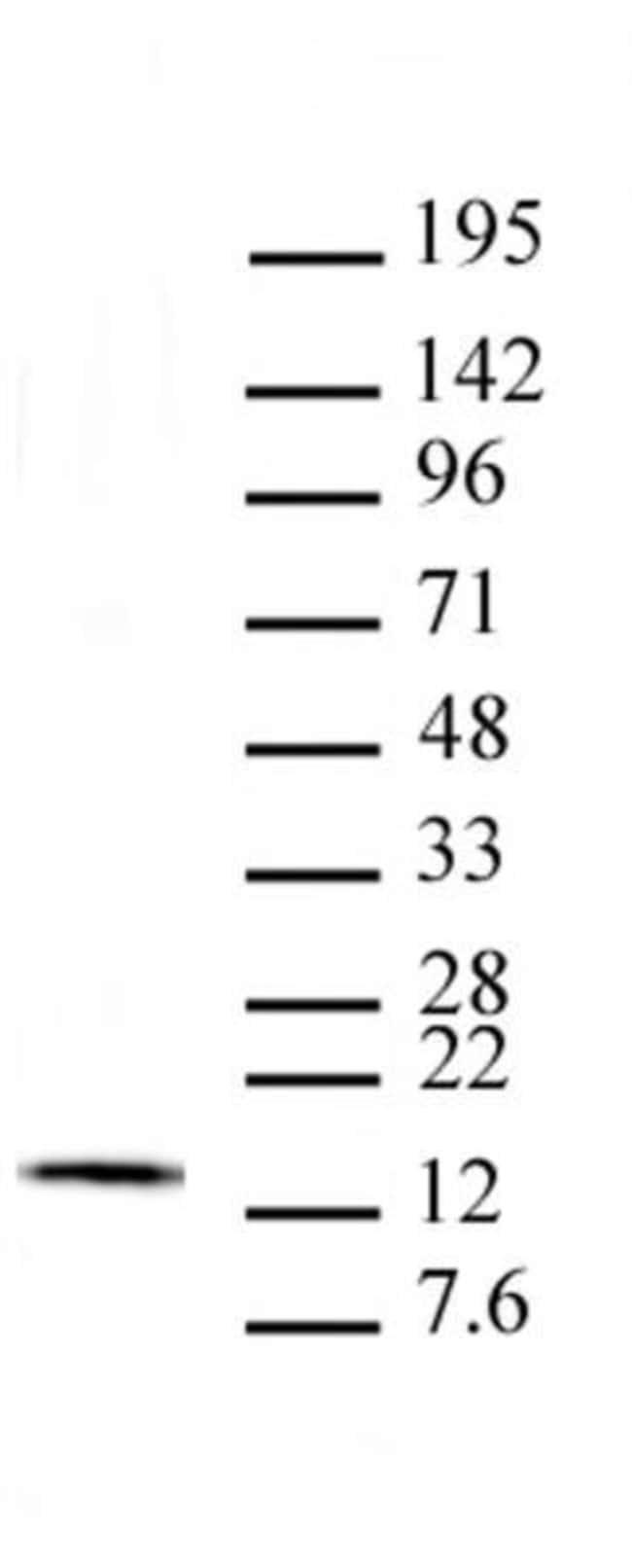 Histone H2Av Mouse anti-Drosophila, Clone: 10E9.D1, Active Motif:Antibodies:Primary