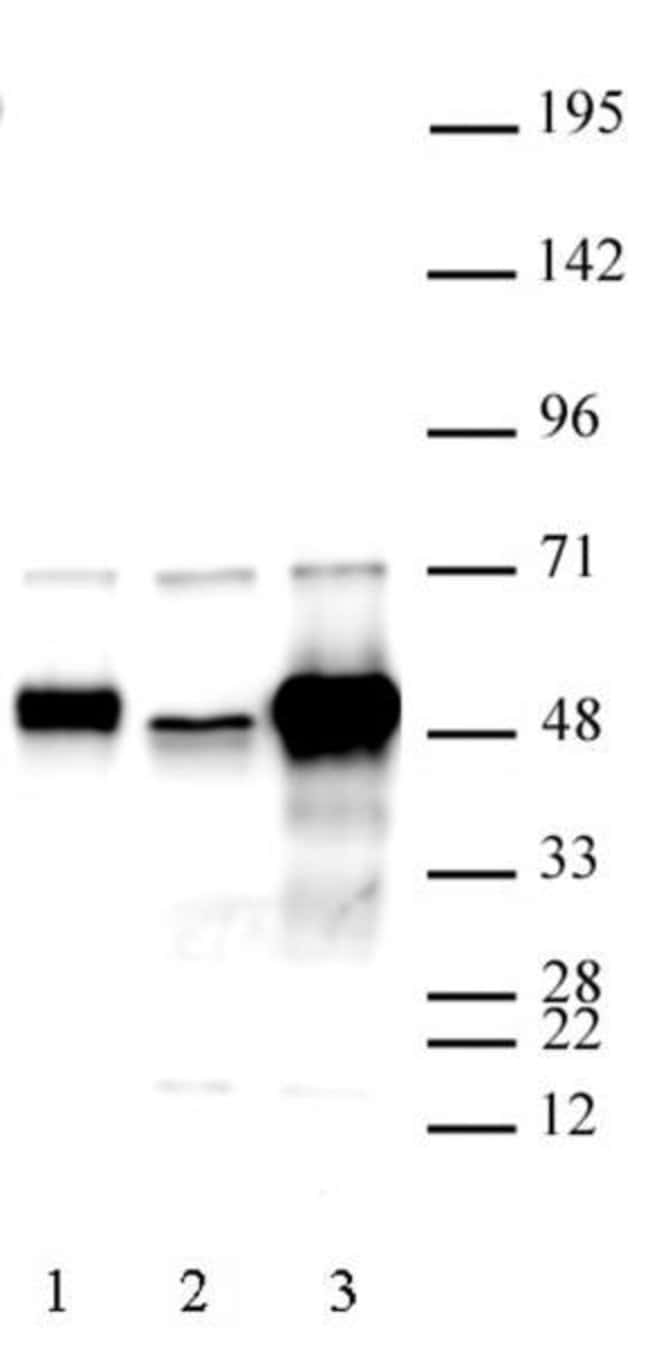 C17orf96 Rabbit anti-Mouse, Unconjugated, Polyclonal, Active Motif:Antibodies:Primary