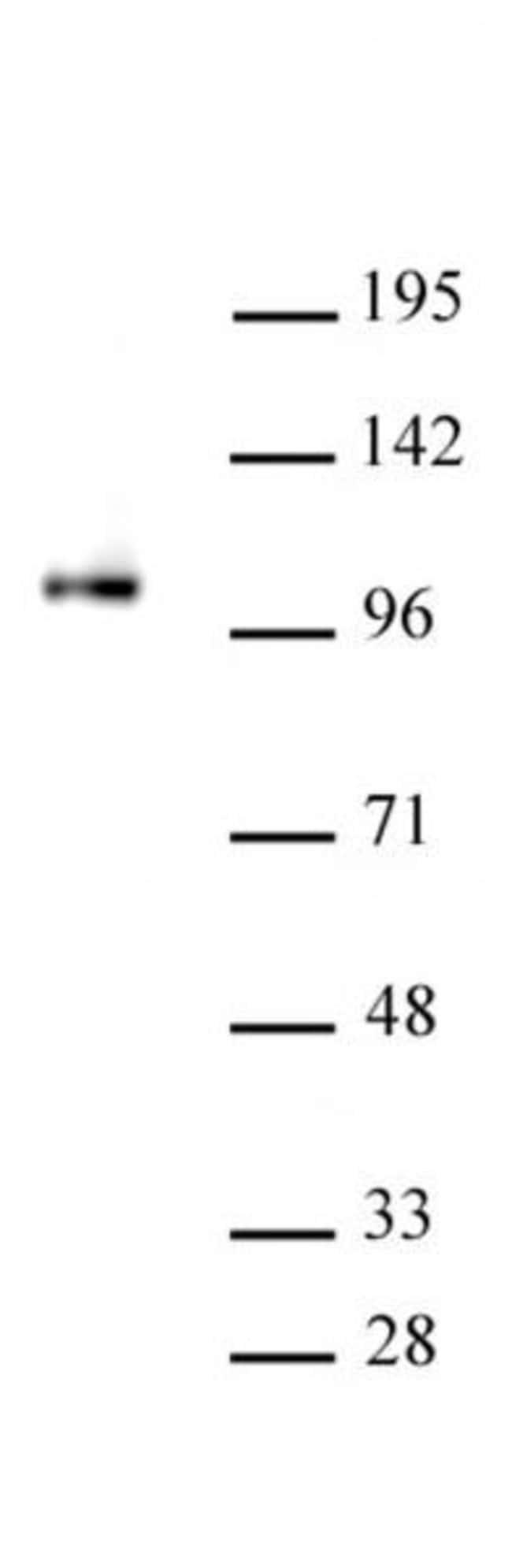 SFMBT1 Rabbit anti-Mouse, Unconjugated, Polyclonal, Active Motif:Antibodies:Primary