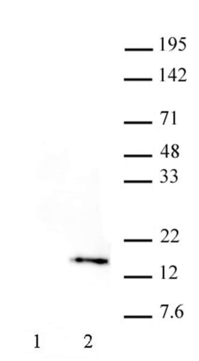 Histone H3T32ph Rat anti-Human, Clone: 6C7G12, Active Motif:Antibodies:Primary