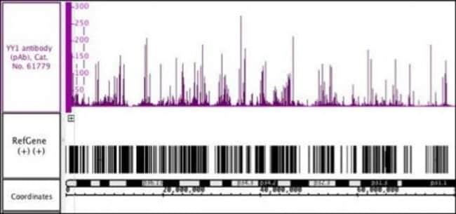 YY1 Rabbit anti-Human, Unconjugated, Polyclonal, Active Motif:Antibodies:Primary