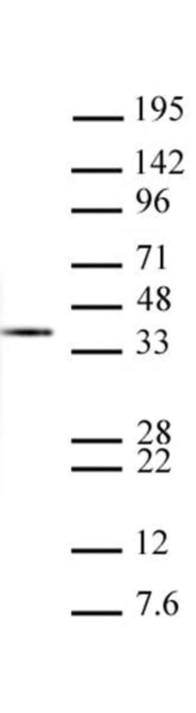 Histone H1 Mouse anti-Drosophila, Clone: 1G6-E3, Active Motif:Antibodies:Primary