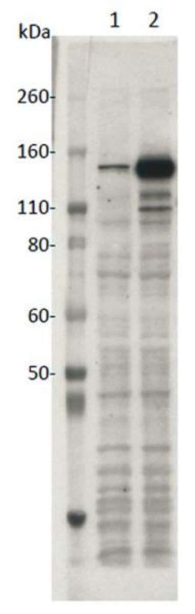 SaCas9 Mouse anti-Human, Many, Mouse, Rat, Clone: 11E7, Active Motif:Antibodies:Primary