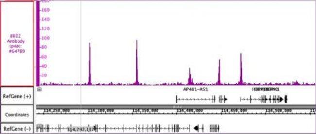 BRD2 Rabbit anti-Human, Unconjugated, Polyclonal, Active Motif:Antibodies:Primary