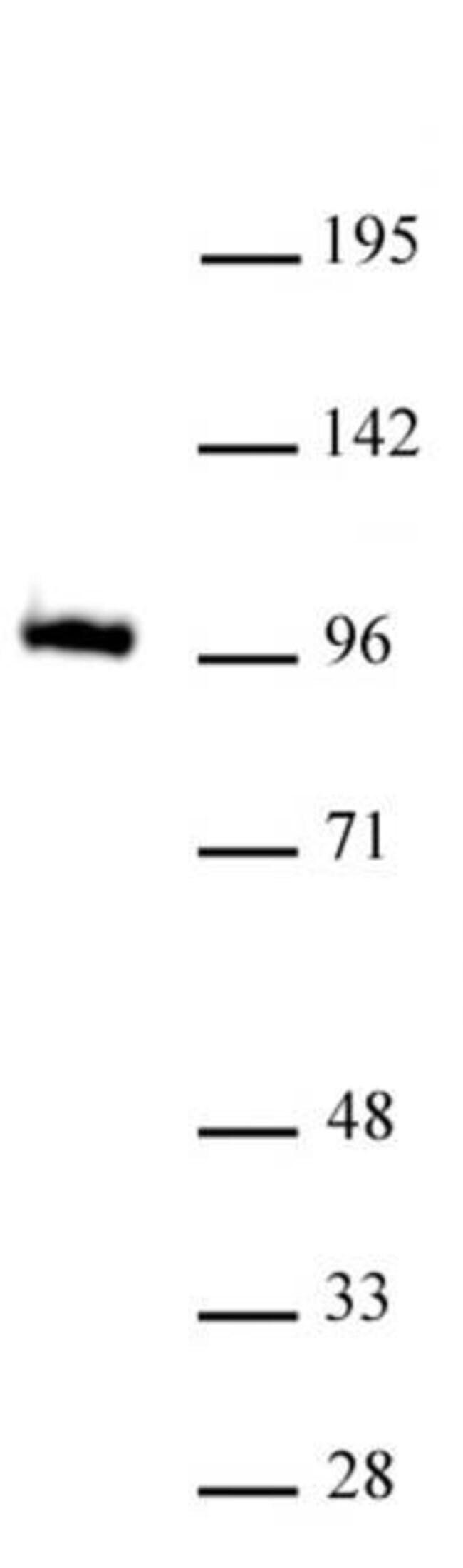 GLIS1 Rat anti-Human, Mouse, Clone: 7-14, Active Motif:Antibodies:Primary