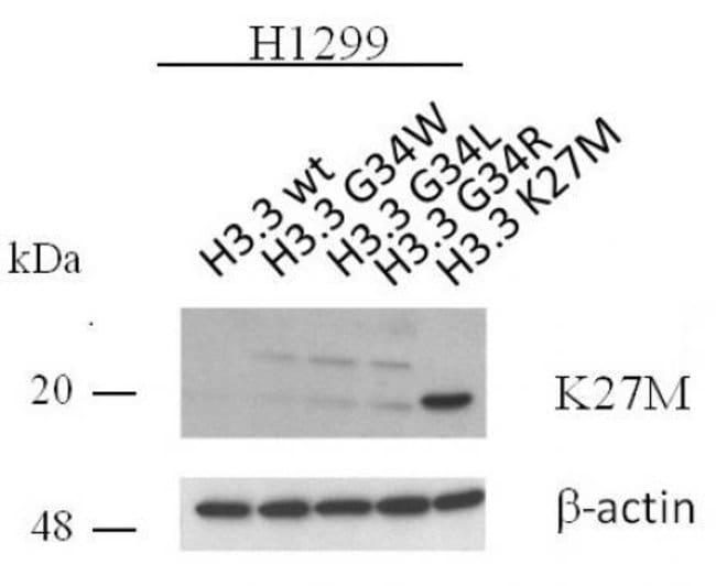 Histone H3.3K27M Rabbit anti-Human, Unconjugated, Polyclonal, Active Motif:Antibodies:Primary