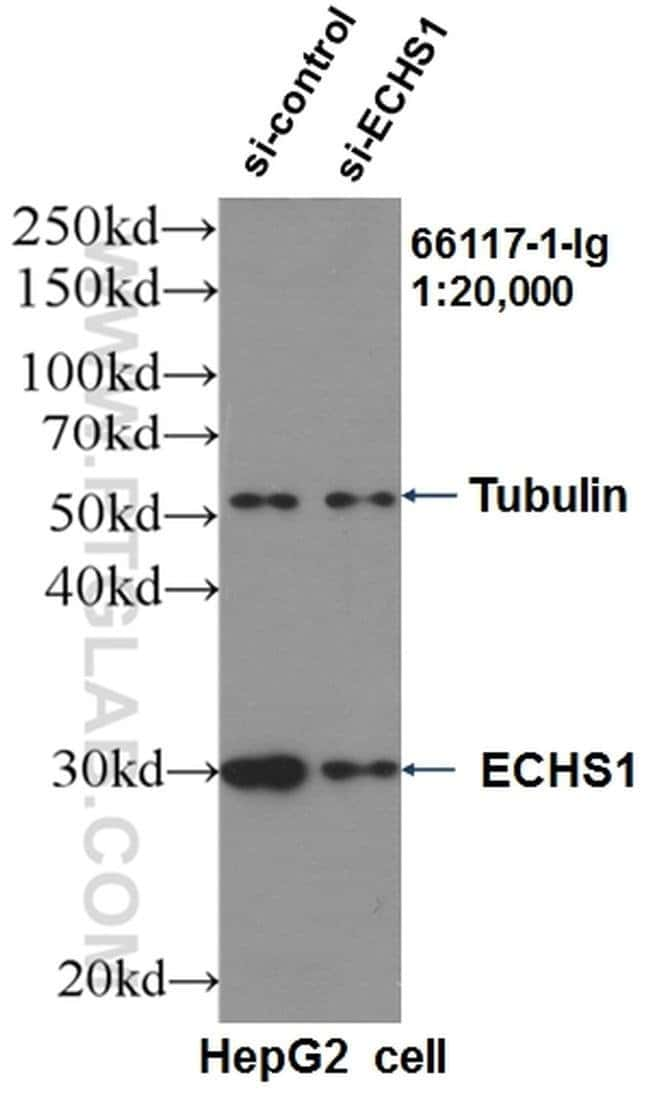 ECHS1 Mouse anti-Human, Clone: 2B9D5, Proteintech 20 μL; Unconjugated Ver productos