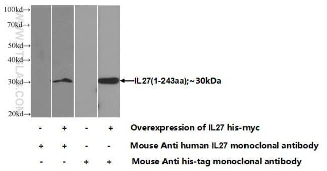 IL-27 Mouse anti-Human, Clone: 1E1H5, Proteintech 20 μL; Unconjugated Ver productos