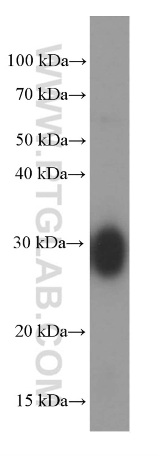 CLIC4 Mouse anti-Human, Porcine, Rat, Clone: 1B7F9, Proteintech 20 μL; Unconjugated Ver productos