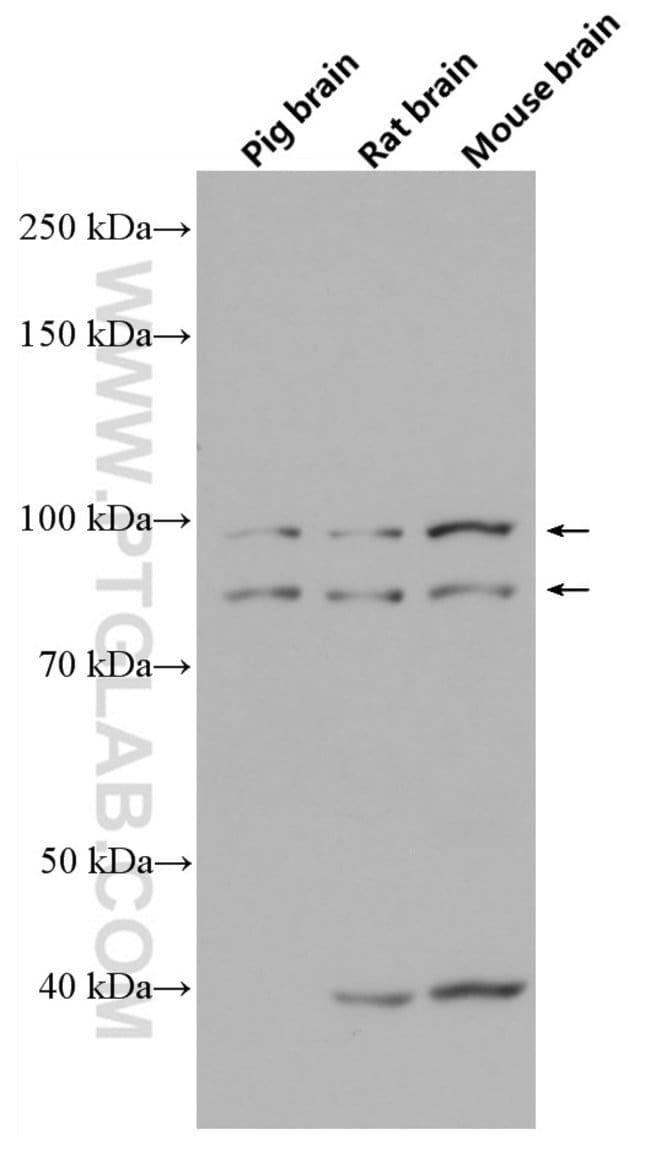 OPA1 Mouse anti-Human, Mouse, Porcine, Rat, Clone: 1B2D8, Proteintech 150 μL; Unconjugated Ver productos
