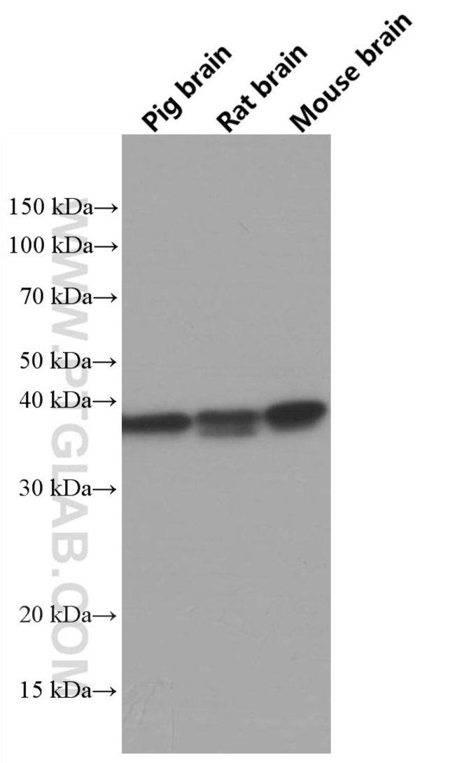 TOMM40 Mouse anti-Human, Mouse, Porcine, Rat, Clone: 5E2C5, Proteintech 150 μL; Unconjugated Ver productos
