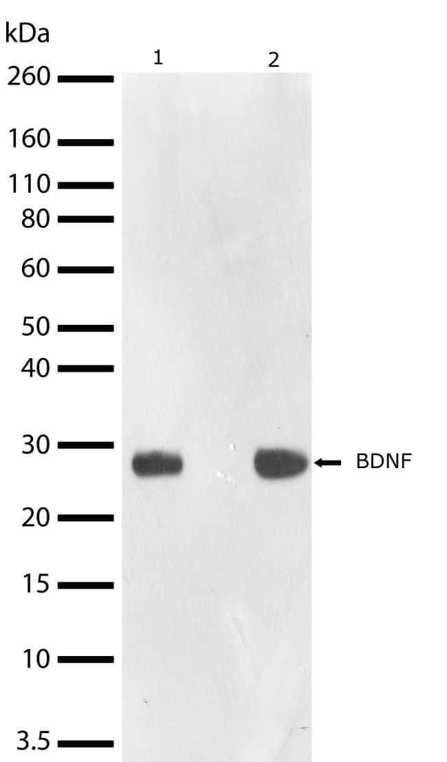 BDNF Rabbit anti-Human, Mouse, Invitrogen 100 µg; Unconjugated