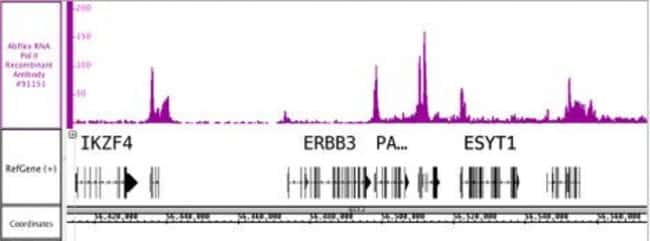 RNA Pol II Mouse anti-Human, Active Motif:Antibodies:Primary Antibodies