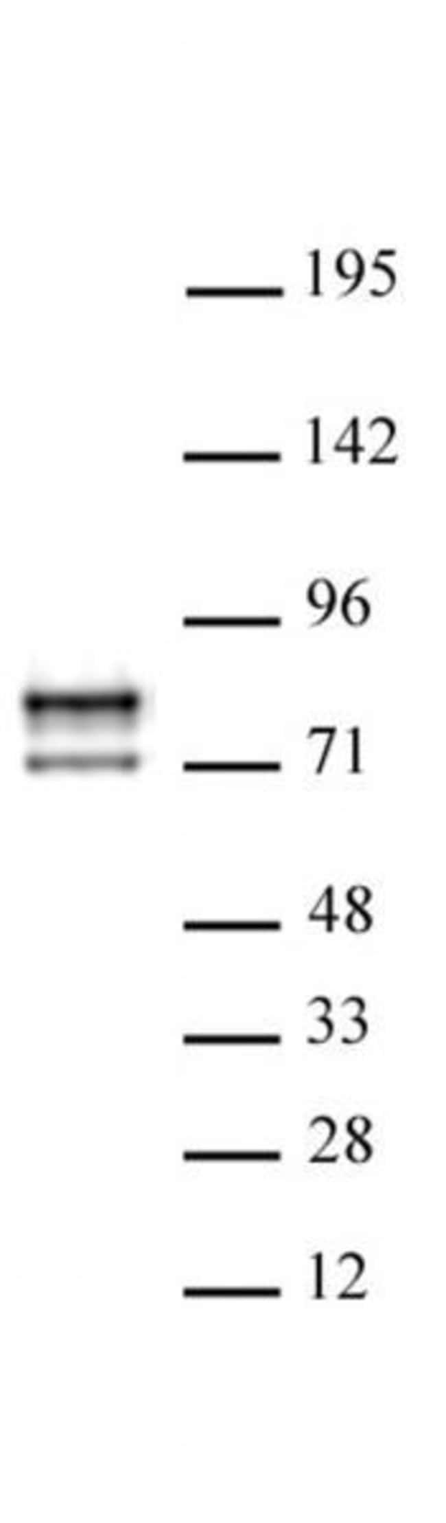Lamin A/C Mouse anti-Human, Active Motif:Antibodies:Primary Antibodies