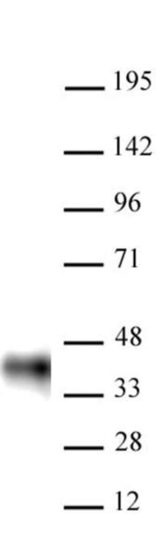 BMI-1 Mouse anti-Human, Mouse, Active Motif:Antibodies:Primary Antibodies