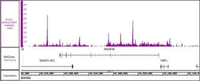 MITF Mouse anti-Human, Active Motif:Antibodies:Primary Antibodies