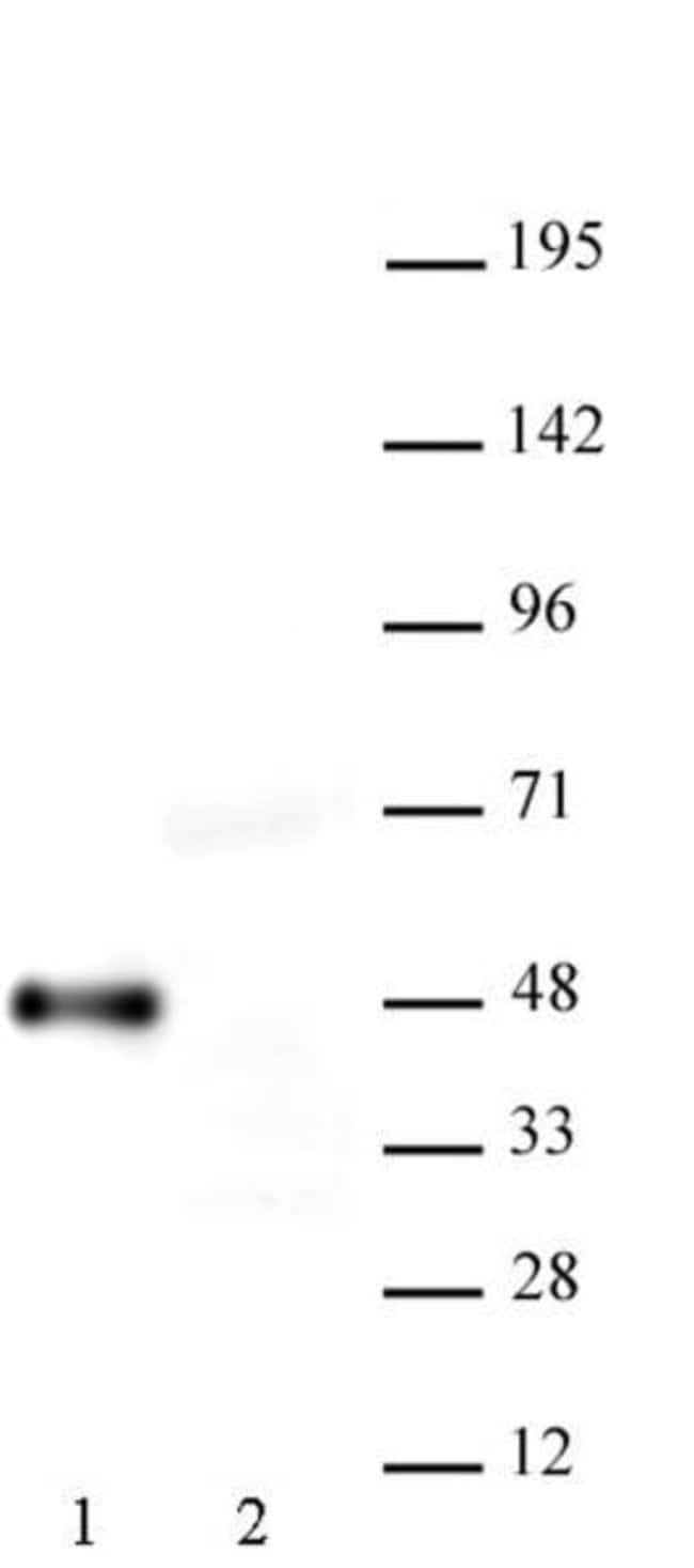 Myc-Tag Mouse anti-Human, Active Motif:Antibodies:Primary Antibodies