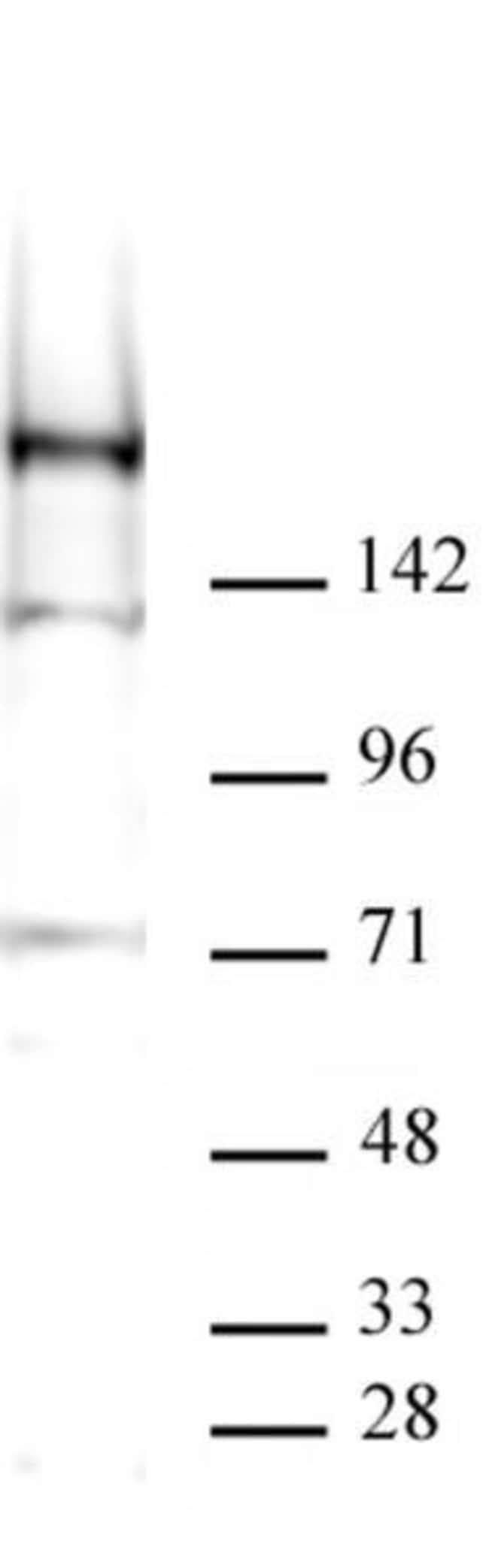 KDM5A Mouse anti-Human, Active Motif:Antibodies:Primary Antibodies