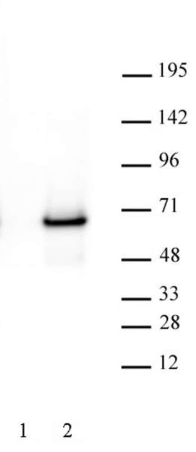 c-Myc Mouse anti-Human, Active Motif:Antibodies:Primary Antibodies