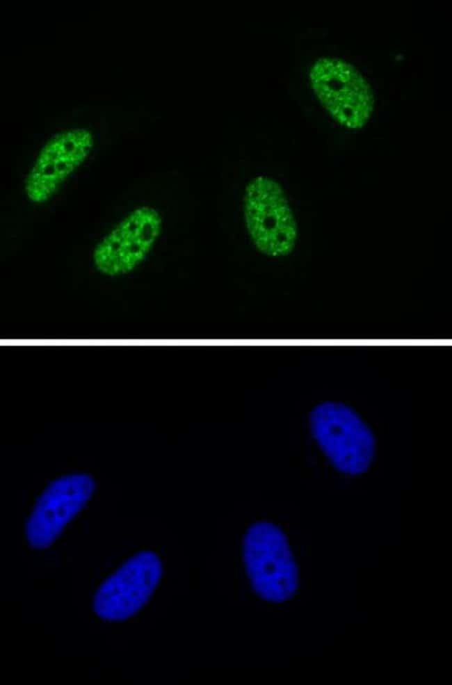 Phospho-RNA Pol II CTD (Tyr1) Mouse anti-Human, Active Motif:Antibodies:Primary