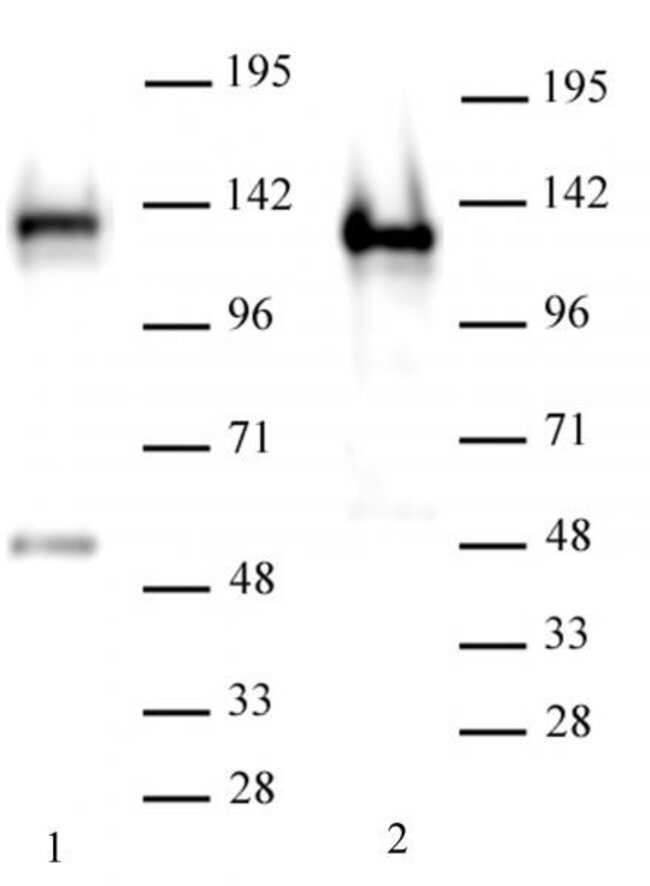 SMARCA1 / SNF2L1 Mouse anti-Human, Active Motif:Antibodies:Primary Antibodies