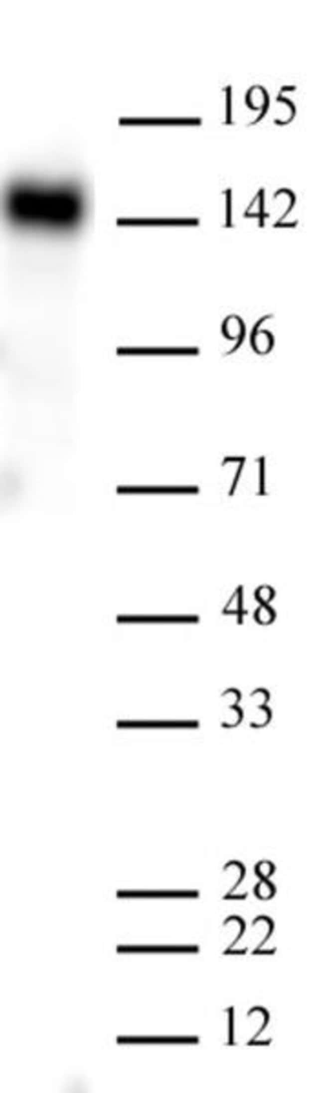 EHMT2 (G9a) Mouse anti-Human, Active Motif:Antibodies:Primary Antibodies