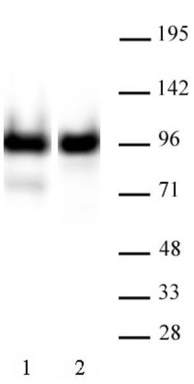 Nucleolin Mouse anti-Canine, Human, Active Motif:Antibodies:Primary Antibodies