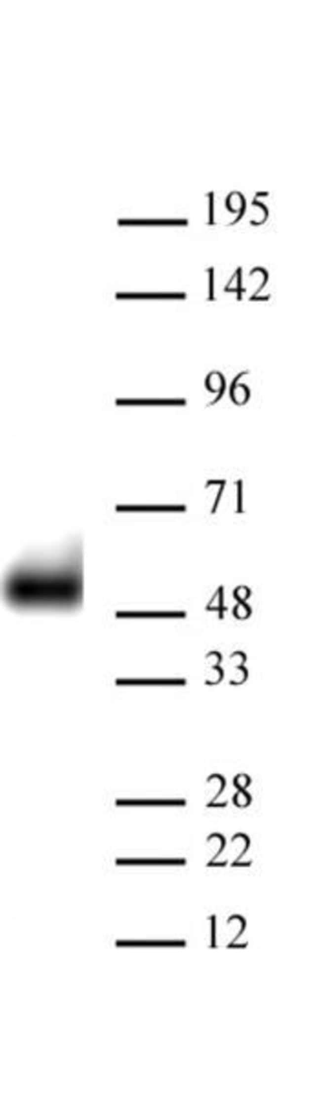 p53 Mouse anti-Human, Active Motif:Antibodies:Primary Antibodies