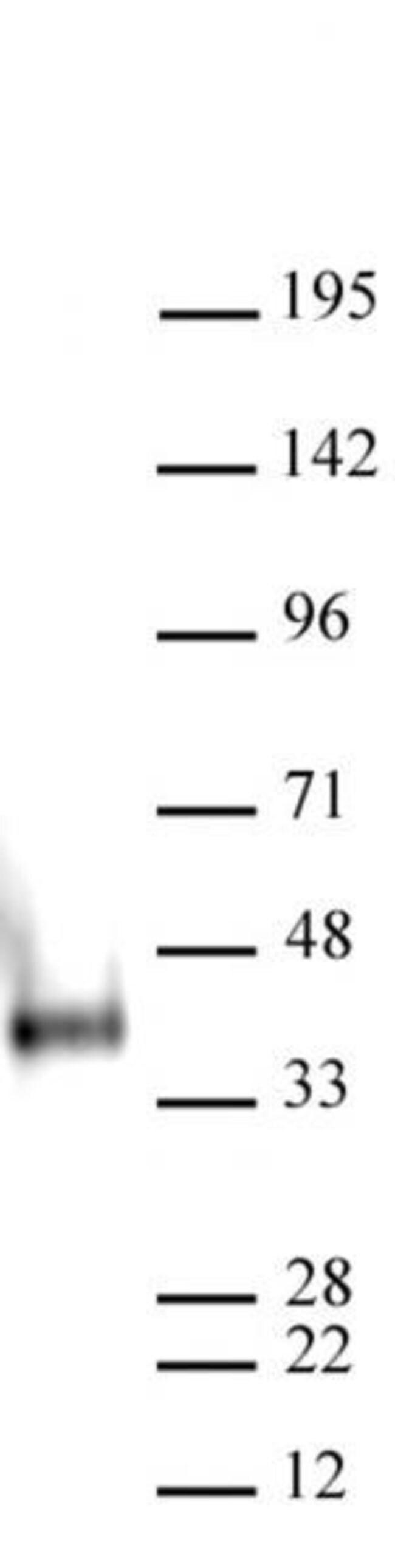 Nanog Mouse anti-Mouse, Active Motif:Antibodies:Primary Antibodies