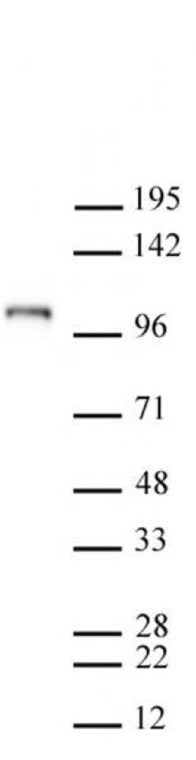 Mili / PiwiL2 Mouse anti-Mouse, Active Motif:Antibodies:Primary Antibodies