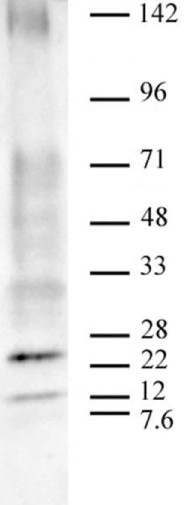 Ubiquitin Mouse anti-Human, Active Motif:Antibodies:Primary Antibodies