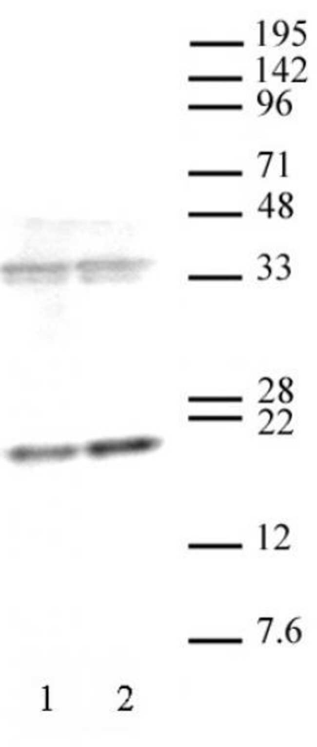 Histone H3K36me3 Mouse anti-Human, Active Motif:Antibodies:Primary Antibodies