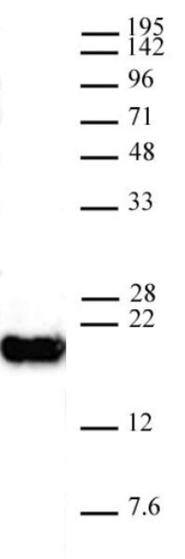 Histone H3K4me0 Mouse anti-Human, Active Motif:Antibodies:Primary Antibodies